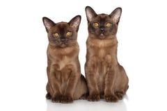 Burmese kittens stock image