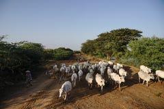 Burmese kommer med kon och geten som går på vägen i Bagan, Myanmar Arkivbilder