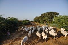 Burmese kommer med kon och geten som går på vägen i Bagan, Myanmar Royaltyfri Foto