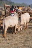 Burmese kor som betar utvändiga Inthein, marknadsför, Inle sjön, Burma Royaltyfria Foton