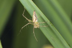 Burmese lynx spider Royalty Free Stock Images