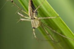 Burmese lynx spider Stock Photo