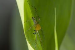 Burmese lynx spider Stock Image