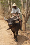 Burmese man riding buffalo Stock Photo