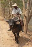 Burmese man riding buffalo. Myanmar, man rides a buffalo Stock Photo