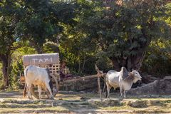 Burmese man with simple ox-drawn cart serving as taxi waiting for customer royalty free stock photography