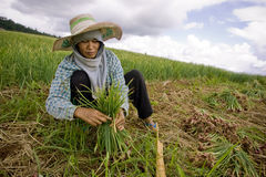 Burmese migrant workers harvesting onions in the fields Royalty Free Stock Images