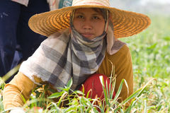 Burmese migrant workers harvesting onions in the fields Stock Photography