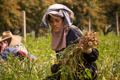 Burmese migrant workers harvesting onions in the fields Royalty Free Stock Photos