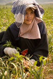 Burmese migrant workers harvesting onions in the fields Stock Photo