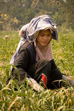 Burmese migrant workers harvesting onions in the fields Stock Photos