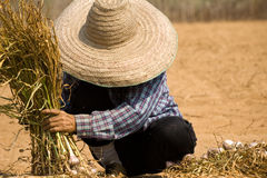 Burmese migrant workers harvesting onions in the fields Royalty Free Stock Image