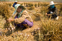Burmese migrant workers harvesting onions in the fields Royalty Free Stock Photo