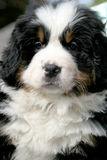 Burmese mountain dog Royalty Free Stock Images