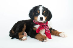 Burmese Mountain Dog Royalty Free Stock Photography