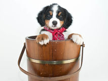 Burmese Mountain Dog Puppy Royalty Free Stock Photos