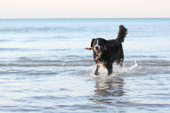 Burmese Mountain Dog Retrieving a Stick Royalty Free Stock Photos