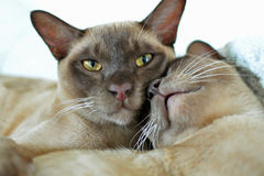 Burmese oriental male & female cats cuddling Royalty Free Stock Photos