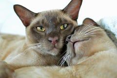 Burmese oriental male & female cats cuddling Royalty Free Stock Photos