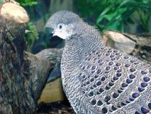 Burmese peacock Polyplectron bicalcaratum Royalty Free Stock Photo
