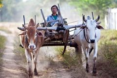 Burmese peasant with harness of draughts Stock Photos