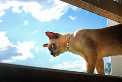 Burmese pet cat climbing and looking out of home window. A beautiful pedigree Burmese breed pet cat is feeling very adventurous and has climbed out of the home Royalty Free Stock Photos