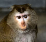 Burmese Pig-tailed Monkey Royalty Free Stock Image