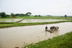 Burmese plowing using oxen located in Bago, Myanmar Stock Photo