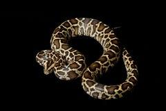 Burmese python. (Python molurus bivittatus) isolated on black background Royalty Free Stock Photo