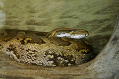 Burmese Python Stock Photos