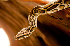 Burmese python. A close-up view of a Burmese python royalty free stock photo