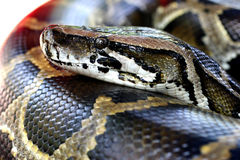 Burmese Python. Close up head shot of a Burmese Python in a petting zoo stock photo