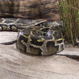Burmese Python Royalty Free Stock Photos