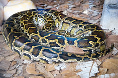 Burmese Python. The Burmese python Python bivittatus is one of the five largest species of snakes in the world about the third-largest as measured either by stock images