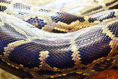 Burmese Python Stock Images