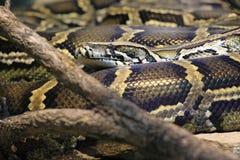Burmese python Royalty Free Stock Photography