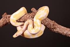 Burmese python entwined. On a limb stock photo