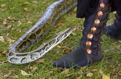 Burmese Python Eyeing Boot. Burmese Python (Python molurus bivittatus) eyeing up medievel style boot for possible strike royalty free stock photo