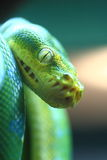 Burmese Python: Focus Royalty Free Stock Images