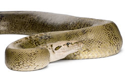 Burmese Python in front of a white background Stock Images