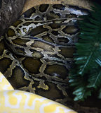 Burmese Python Stock Photography