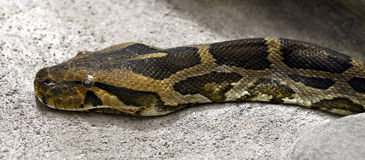 Burmese python 2 Royalty Free Stock Images