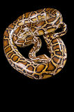 Burmese python isolated on black Royalty Free Stock Image