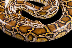 Burmese python isolated on black Royalty Free Stock Photos