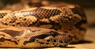 Burmese Python Macro Royalty Free Stock Images