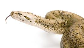 Burmese Python - Py... molurus bivittatus  - grani Royalty Free Stock Photos
