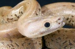 Burmese python / Python bivittatus Stock Photos
