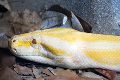 Burmese python (python molorus bivittatus). A close up view of the head of a yellow Burmese python. The Burmese python is one of the five largest species of stock images
