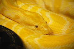 Burmese Python Snake Coiled Up Stock Photo