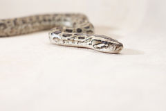 Burmese python snake Royalty Free Stock Photos